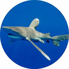 Oceanic Whitetip Shark Tagging
