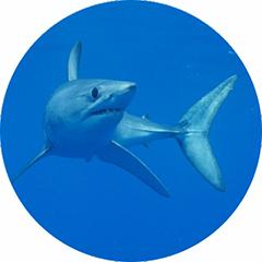 Shortfin Mako Shark Tagging
