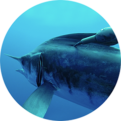 Blue And White Marlin Tagging